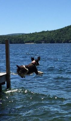 Tucker loves jumping in the lake! Spaniel Dog, Spaniels, English Springer Spaniel, Animal Care, Pet Care, Bald Eagle, Make Me Smile, Best Dogs, Dogs And Puppies