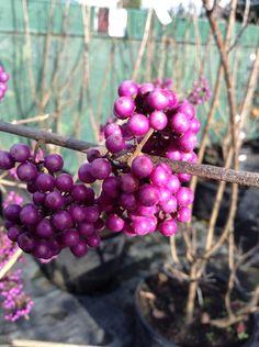 The Callicarpa bodinieri profusion's at the nursery are still full of stunning purple berries