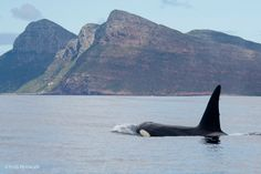 Magnificent orcas in False Bay.