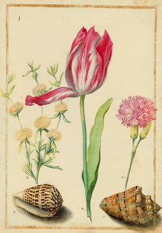 nickyskye meanderings: Early Spring, Maria Sibylla Merian and other stuff Vintage Botanical Prints, Botanical Drawings, Botanical Art, Botanical Illustration, Illustration Art, Sibylla Merian, Parrot Tulips, Types Of Flowers, Floral Illustrations