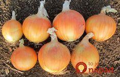 Keď budete sadiť cibuľu držte sa tejto jednoduchej rady a úroda sa vám znásobí: Ja to robím každý rok a mám jej na rozdávanie! Onion, Diy And Crafts, Flora, Vegetables, Health, Pergola, Gardening, Gardens, Greenhouses