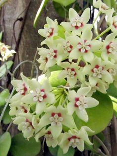 Hoya australis supsp. tenuipes A native of Australia and New Guinea, this hoya features flowers that smell of baby powder!