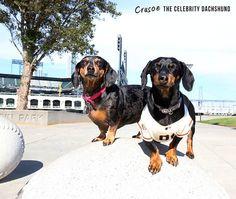 crusoe dachshund with fan