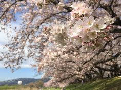 A Day in Spring - Sakura Cherry Blossoms at Sewaritei in Kyoto, Japan.