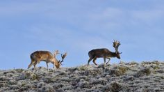 Two magnificent bucks forage in the frosty grass at Dyrham Park in winter