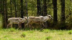 >   Metsäpeuratkin näyttäytyivät lintumiehille. Ne ovat yksi Kainuun ylpeydenaiheista. Kuva Petteri Lehikoinen.