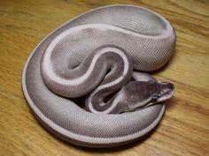 10 Beautiful Ball Python (Python Regius) Morphs - ReptileWorldFacts