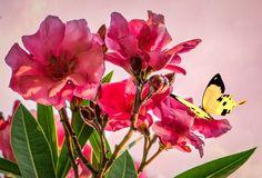 Roze roos met gele vlinder in de lente