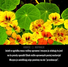 Jeżeli w ogródku masz rośliny uprawne i mszyce je atakują to jest na to prosty sposób! Obok roślin uprawnych posiej ...