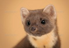 http://photodune.net/item/european-pine-marten-martes-martes-against-brown-background/7338064