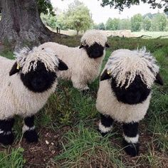 These Blacknose Sheep Are Real Eventhough They Look Like Stuffed Animals - The Valais Blacknose sheep (Or in German: Walliser Schwarznasenschaf) is a breed of domestic sheep - Fluffy Cows, Fluffy Animals, Cute Baby Animals, Animals And Pets, Animals Planet, Wild Animals, Amazing Animals, Animals Beautiful, Stuffed Animals