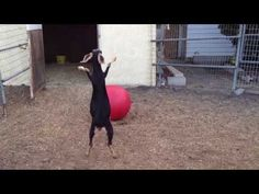 #goatvet likes this video -Best Use For A Yoga Ball. It provides enrichment and exercise for goats