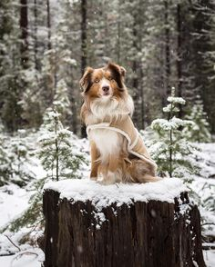 In my winter jacket I posed for you on this stump in the Deschutes National  Forest The Australian Shepherd is a medium-sized breed of dog that was developed on the ranches in the Western United States. Originally bred to herd livestock, he remains an intelligent working dog breed at heart of strong herding and guarding instincts. The Aussie, as he's nicknamed, is happiest when he has a job to do. He is a loyal companion and has the stamina to work all day.