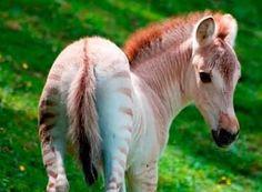 A pink zorse?  A zebra x fjord!