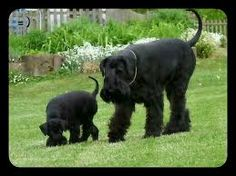 Image result for silhouette Schnauzer / Scottish Terrier Mix standard