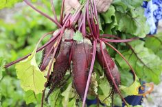 19 Frost Hardy Vegetables to Plant this Fall Grow Organic, Organic Farming, Organic Gardening, Gardening Tips, Winter Vegetables, Planting Vegetables, Growing Vegetables, Vegetable Gardening, Backyard Farming