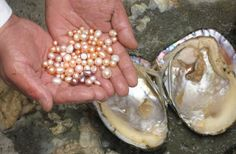 Tears of Mermaids: The Secret Story of Pearls | Natural pearls, In nature  and The oyster