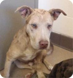 Apple Valley, CA ✮ #PUPPY 8 MONTH ✮ #SHARE ✮ #ADOPT ✮ #FOSTER ✮ #PLEDGE ✮ #RESCUE PLZ! TY ✮ [[URGENT]] #Catahoula Leopard Dog/ #Labrador Retriever - #Male - ID #127805 - #Merle -  41 lbs - 8mo!! **AVAILABLE FOR #ADOPTION ON 11/9/13** Apple Valley Animal Services (760) 240-7000 ext 7519 -  or ext 7555 or email avasrescues@applevalley.org 22131 Powhatan Road - Apple Valley, CA 92307 Fax: 	(760) 247-6487.