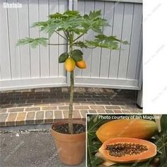 Hot Sale, Big Papaya Seed Delicious Fruit Seed Tropical Ornaments Plants Perennial Grove Outdoor Easy Growing 50 Pcs / Package