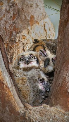 ~~Tired Mom ~ Great horned owl and two owlets by Frank Comisar~~