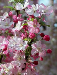 flowering branches in shades of pink