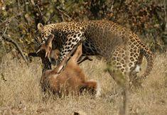 Panthera pardus | Kruger National Park, South Africa