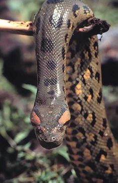 The Anaconda is a stunning and powerful snake with the capability to strangle a fully grown man or cow. respect it