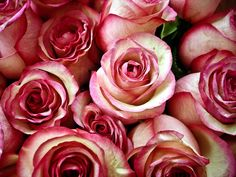 PINK roses love the pink and white ones. had them in my wedding boquet