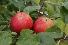 Malus Krasnoje Rannaja, äppelträd. Tidig röd korsning mellan Melba x Vesna. Rysk delikatessort. Frukten 80-100 g med gul bottenfärg och röda breda ränder i täckfärgen. Fruktköttet saftigt gräddfärgat och sötsyrlig aromrik smak. Rekommenderas som tidig sort i hemträdgårdar.