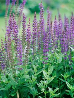 East Friesland Salvia - A favorite for its long bloom season, East Friesland salvia is a mound-shape plant with spikes of violet-purple flowers in summer and fall. It attracts a lot of bees, butterflies, and hummingbirds to the garden.