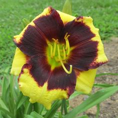 DAYLILY PLANTS ~ FRANK'S BLACK EYED SUSAN ~ SMITH ~ DF