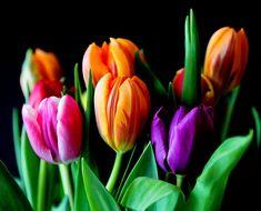 Fleurs, Tulipes, Bouquet, Fleurs Coupées, Coloré