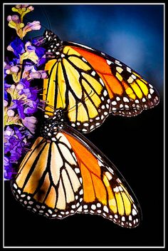 Monarchs nectaring. Photographer unknown. Love the colours!