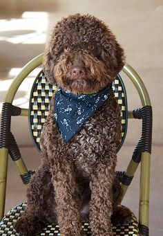 Marco our Mascot is a Lagotto Romagnolo that is in training to hunt truffles and loves Fontina cheese with white truffle oil! www.pizzeriamimosa #truffles #lagottoromagnolo