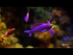 """Bringing Fish Up from the Deep """"Fish that live in the twilight zone region of the ocean are a crucial part of a vastly under-studied ecosystem. When fish are brought up to the surface for study, the."""