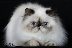 Fifth Love Cattery is home to several sweet himalayan and exotic female cats who have given us adorable kittens. Cute Cats And Kittens, Cool Cats, Kittens Cutest, Animals And Pets, Cute Animals, Himalayan Cat, Persian Kittens, Exotic Shorthair, Cattery