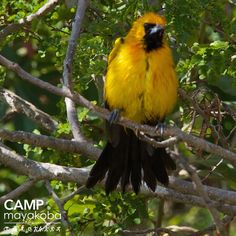 Obviously, this Altamira Oriole was so excited to be featured as a Bird of Mayakoba that he puffed up with pride! #CAMPmayakoba  #birdwatching #widlife #nature #photography #bird #playadelcarmen #rivieramaya