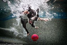 Boston Terrier diving underwater to catch a ball! ► http://www.bterrier.com/?p=868
