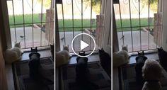 Gatos Focados Em Ver Pássaro Têm o Susto Das Suas Vidas http://www.funco.biz/gatos-focados-ver-passaro-susto-das-suas-vidas/