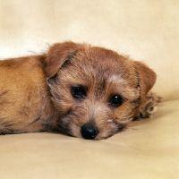 Picture of nanfan sage, norfolk terrier puppy lying in an armchair