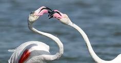 Flamingos brincam nas águas de Carnon, no sul da França