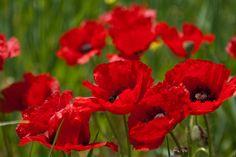 Anzac Day - Poppy. Lest We Forget.