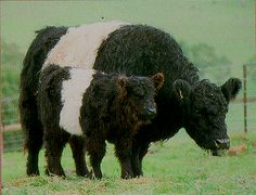 Belted Galloway:This distinctively marked, hardy breed of beef cattle originated in the Galloway area of south-western Scotland.  AKA: Oreo cows