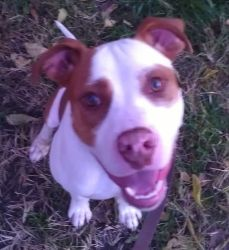 Buddy is an adoptable Pit Bull Terrier Dog in Pittsburgh, PA. Buddy is a huge goof-ball who would just LOVE to find someone to play and cuddle with him all day long! He is a 1.5 year old American bull...