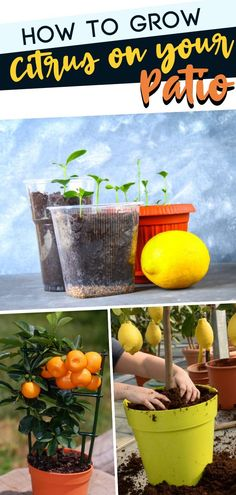 If you learn how to grow citrus on your patio, you will not only have fruit, but some awesome smells coming from fruit trees. When it comes to beautiful grow citrus on your patio Patio Plants, Outdoor Plants, Garden Plants, Outdoor Gardens, Flagstone Patio, Concrete Patio, Pergola Patio, Backyard Patio, Patio Privacy