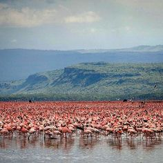 Lake Nakuru is a very shallow lake in central Kenya. The lake's abundance of algae attracts vast quantities of lesser flamingos, sometimes more than one million at once. Often called the greatest bird spectacle on earth, the flamingos are one of Kenya's top attractions #kenya #africa #safari #adventure #wildlife #mountains #landscape #green #nature #view #fresh #air #instagood #instadaily #instamood #instalike #photooftheday #picoftheday #bestoftheday #life #like4like #follow #followme…
