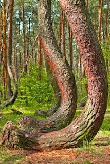 The Crooked Forest, Gryfino, Poland. This grove of 400 pine trees was planted circa when its location was still within the German province of Pomerania. It is believed that a tool or technique was used to deliberately make all the trees bend in the Bonsai, Crooked Forest, Crooked Tree, Places To Travel, Places To Visit, Reisen In Europa, Unique Trees, Thinking Day, Tree Forest