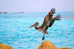 El pelícano es una especie que habita el Caribe Mexicano.