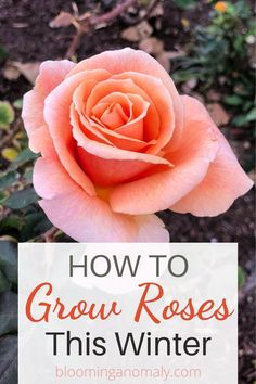 If you love roses, you will enjoy growing them all year long, especially if you live in a warm climate. Iceberg roses are one type of rose that will grow in cooler weather. Learn all about these winter roses in this post. Planting Shrubs, Garden Plants, Jesus And Mary Pictures, Floribunda Roses, Rose Care, Popular Flowers, Winter Rose, Hybrid Tea Roses, Growing Roses
