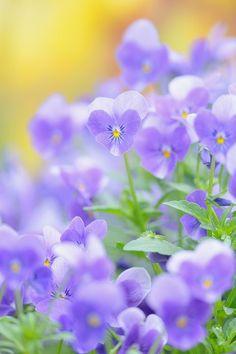 Violets Flowers Garden Love
